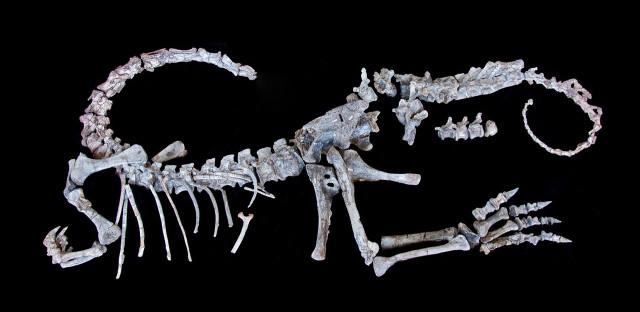 Sarahsaurus aurifontanalis skeleton (Image courtesy Jackson School Museum of Earth History Vertebrate Paleontology. All rights reserved)