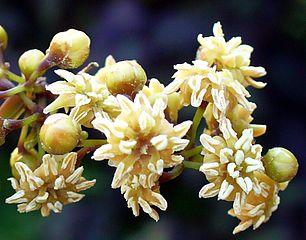 Flowers of Amborella trichopoda