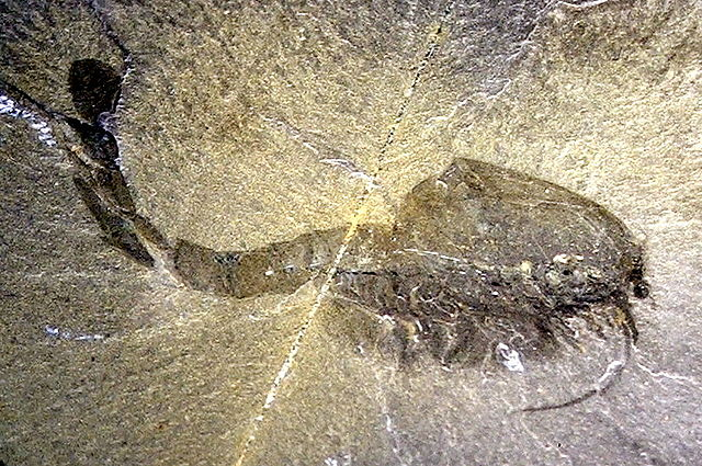 Fossil of Waptia fieldensis