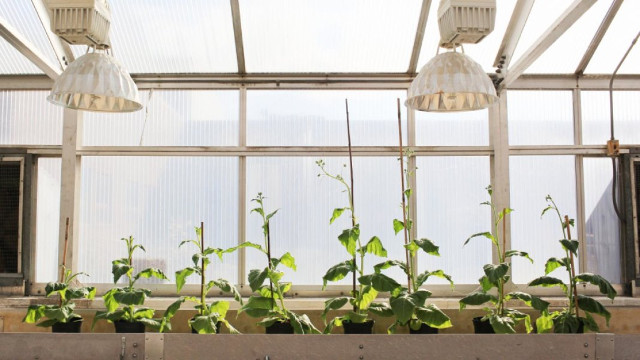 Unmodified plants (left) grow beside modified plants (right) (Photo courtesy Claire Benjamin/RIPE Project)
