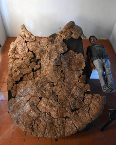 Dr. Rodolfo Sánchez and a male carapace of Stupendemys geographicus (Photo courtesy Edwin Cadena)