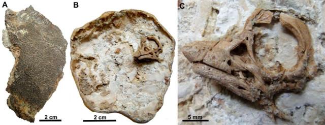 Sauropod fossil embryo