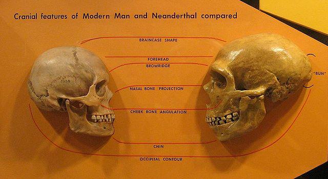 Neanderthal and Modern human skulls (photo ©hairymuseummatt)