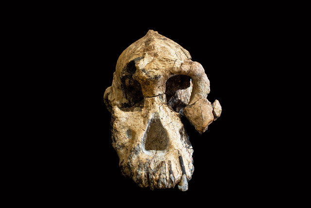 An almost complete skull of Australopithecus anamensis offers new clues to the evolution of hominins