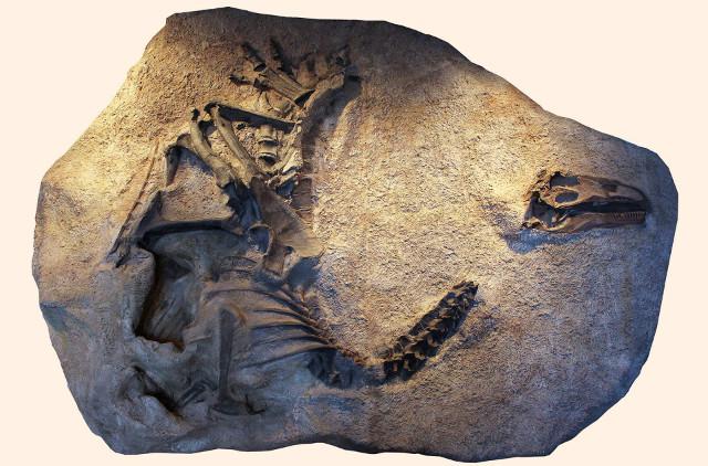 Cast of Allosaurus jimmadseni (Image courtesy Dan Chure)