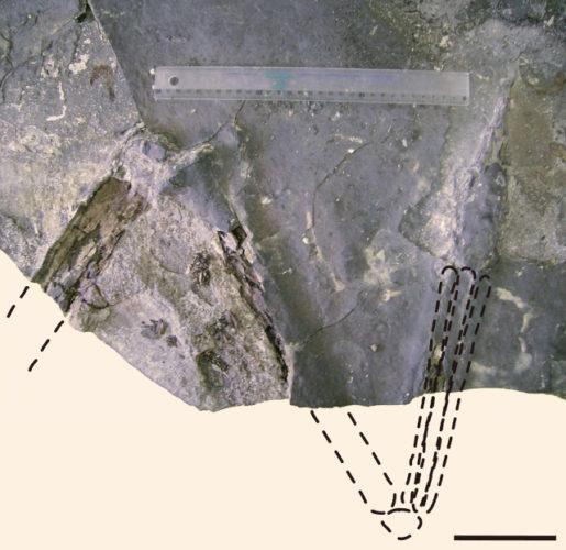 Aratasaurus museunacionali fossil