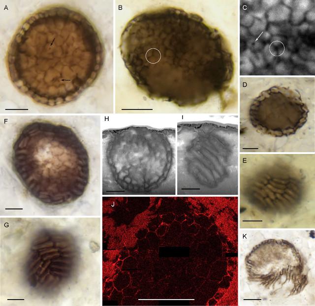 Bicellum brasieri fossils