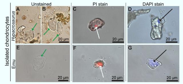 Isolated chondrocytes of Hypacrosaurus stebingeri and emu