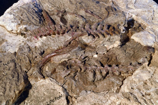 Dromomeron gregorii fossil (Photo courtesy Sterling Nesbitt)