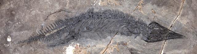 Gunakadeit joseeae fossil