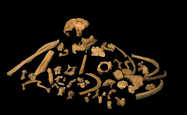Homo antecessor bones (Image courtesy José María Bermúdez de Castro)