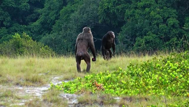 Two adult males of the Loango Chimpanzee Project (Photo courtesy LCP, Lara M. Southern. All rights reserved)