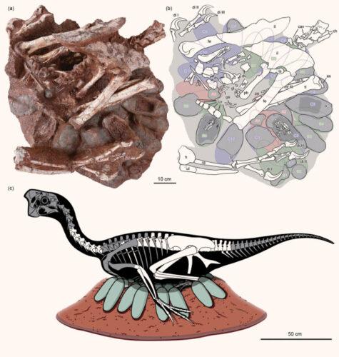 Oviraptorid brooding its nest of eggs
