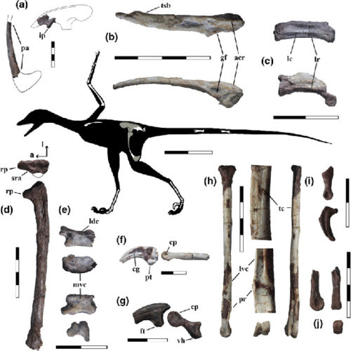Silhouette of Overoraptor chimentoi with the bones found