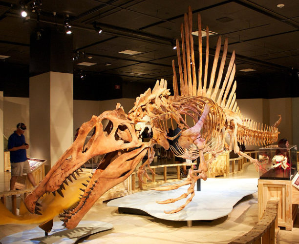 Spinosaurus aegyptiacus skeleton