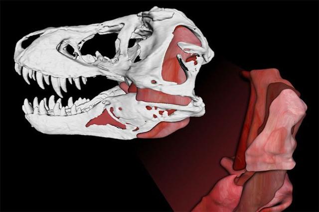 Simulation of Tyrannosaurus rex anatomy (Image courtesy Gregory Erickson e Paul Gignac / Florida State University/Oklahoma State University / Scientific Reports)