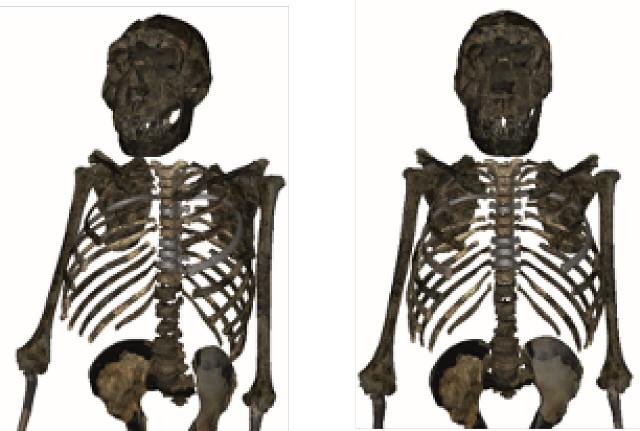 Reconstruction of Turkana Boy's upper body