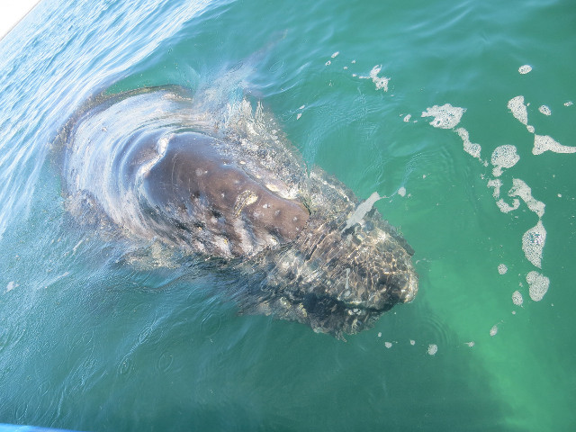 Eastern gray whale (Photo courtesy Anna Brüniche-Olsen. All rights reserved)