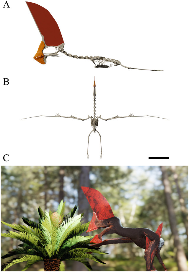Skeletarl reconstruction of Tupandactylus navigans in lateral (A) and dorsal (B) views together with an artistic reconstruction (C) (Image Beccari et al)