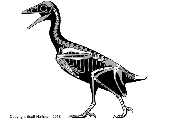 Skeletal reconstruction of Mirarce eatoni. The bones available are in white (Illustration courtesy Scott Hartman)