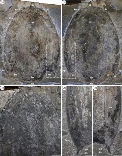 Views of Titanokorys gainesi fossils (Image courtesy Jean-Bernard Caron, Royal Ontario Museum)