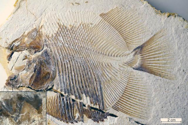 Piranhamesodon pinnatomus fossil (Image courtesy M. Ebert and T. Nohl)